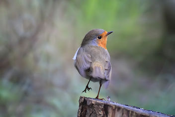 Robin, balancing - Free image #290803