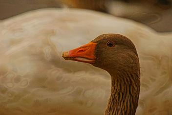 Greylag Goose Martin Mere - Free image #290823