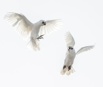 Little Corellas - image gratuit #290923