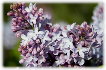 lilac - image #291413 gratis