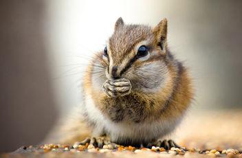 Feasting Chipmunk - Free image #291423