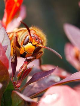Hornet Queen - Free image #291583