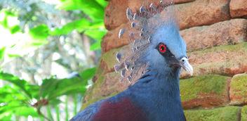 Victoria crowned pigeon - image #292013 gratis