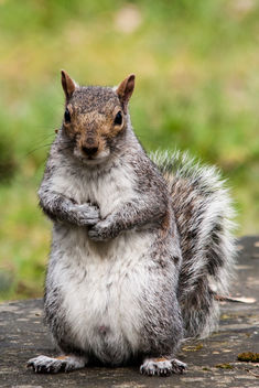 Grey Squirrel - image gratuit #292023