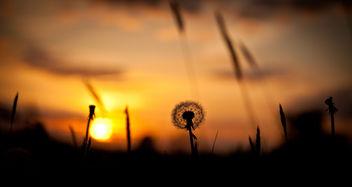Dandelion sunset - Free image #292183