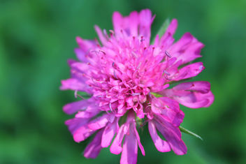 Red Clover - Free image #292263