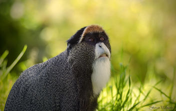 De Brazza's Monkey - image #292353 gratis