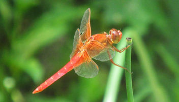 Red Dragonfly - image #292663 gratis