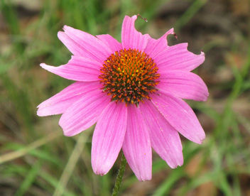 Purple Coneflower - Free image #292753