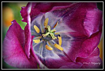 Purple ...... - image gratuit(e) #292913