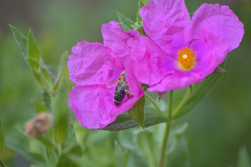 Pink Flowers and a Bee - image #292923 gratis