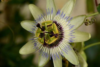 Splendide, la fleur de la Passion :) - Kostenloses image #292963