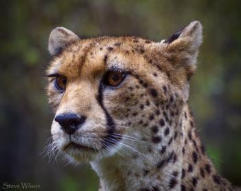NorthWest African Cheetah - Kostenloses image #293203