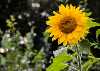 Sunflower - image gratuit #293373