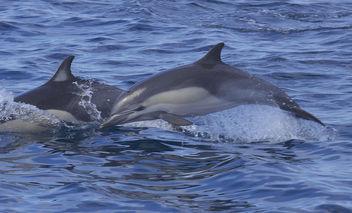 Short-beaked Common Dolphin (Delphinus delphis) - image gratuit(e) #293443