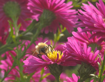 asters are popular with wild bees - image gratuit #294213