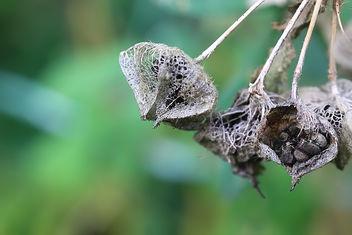 Seed of Malva - Kostenloses image #294643