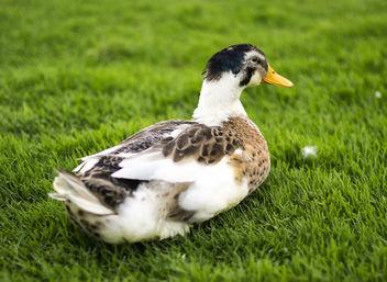 Duck - image #295043 gratis