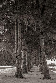 Pine Row - Free image #295993
