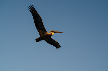 Brown Pelican - image gratuit #296353