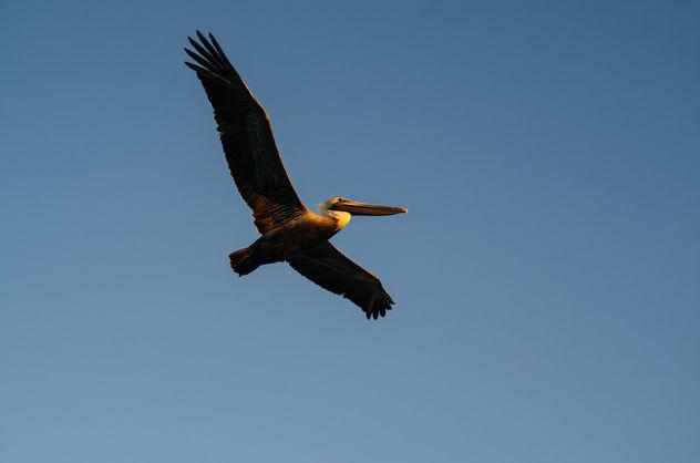Brown Pelican - Free image #296353