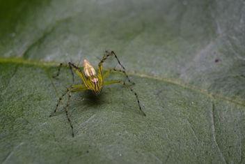 Lynx Spider - Kostenloses image #296623
