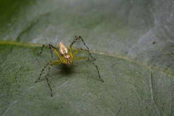 Lynx Spider - Free image #296623
