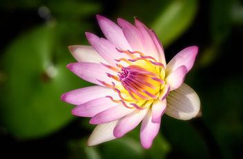 Lotus - Kostenloses image #296843