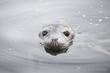 Sea Seal, 2014 - Free image #297073