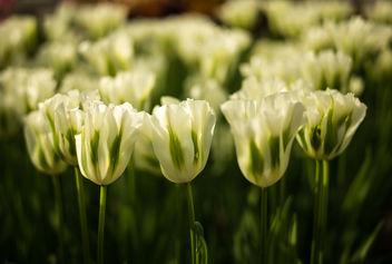 White Tulips - image gratuit(e) #297223