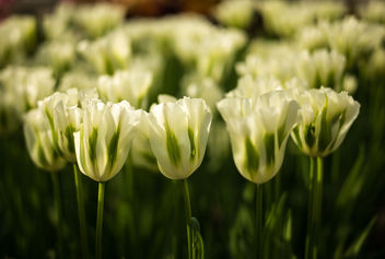 White Tulips - Free image #297223