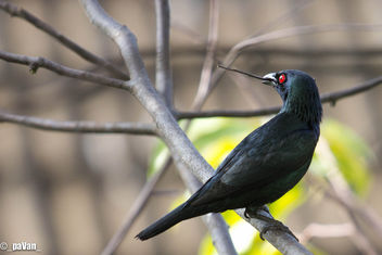 Asian Glossy Starling - бесплатный image #297233