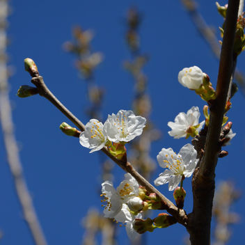 Cherry blossom - Kostenloses image #297303