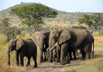 Tanzania (Serengeti National Park) Elephants on the march keeping babies inside - Free image #298273