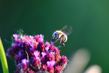 Worker Bee - Free image #298873