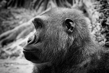 Western lowland gorilla - image gratuit #298893