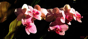 Sunlit Orchids - Free image #299063