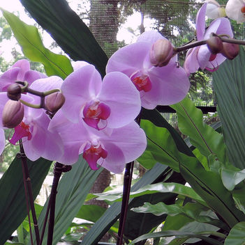 Singapore-National orchid garden 9 - image gratuit #299083