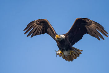Bald Eagle with Fish - Free image #299123