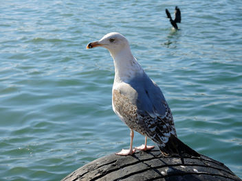Turkey (Istanbul)- Sea Gull - Free image #299383
