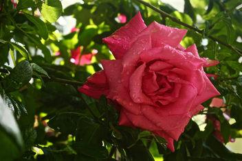 Rose - Free image #299633