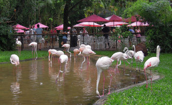 Brazil (Iguacu Birds Park) Flamingos and umbrellas in harmony !!! - image gratuit #300003