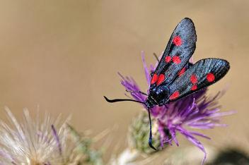 Zygaena lavandulae - Zigenia de cinco puntos - Free image #300463