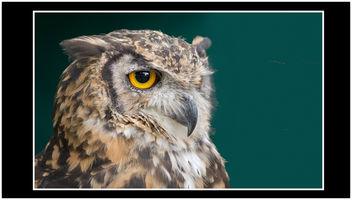 Owl - Free image #300623