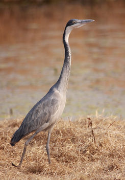 Black-headed Heron, Ardea melanocephala at Marievale Nature Reserve, Gauteng, South Africa - image #300933 gratis