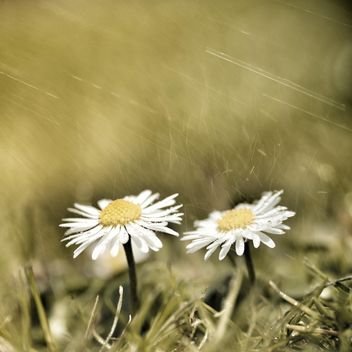 Two daisy flowers in grass - image #301383 gratis
