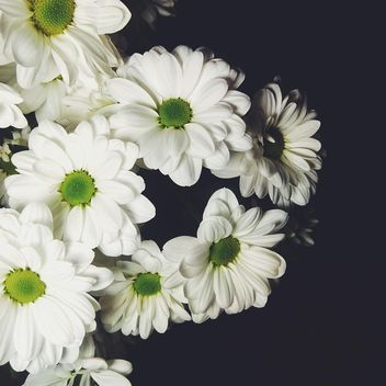 White chrysanthemum - image gratuit #301393