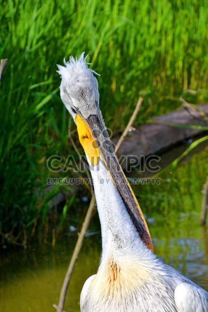 American pelican portrait - Free image #301633