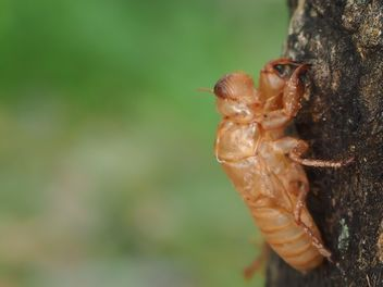 Cicada moulting in the garden - бесплатный image #301733