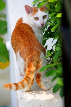 Orange and white cat - image #302343 gratis